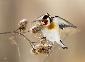 stock photo of goldfinches  - European Goldfinch flits over the burdock of winter - JPG