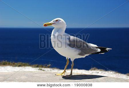 Sea Gull portrait