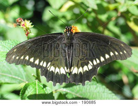 Schmetterling Schwarz Fütterung