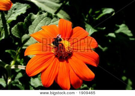 Bumble Bees Pollinates A Flower In The Spring