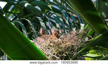 Baby Cardinals in the nest in our backyard