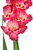 foto of gladiola  - Closeup of pink gladiolus isolated on white background - JPG