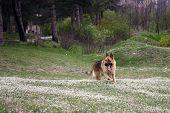 foto of german-sheperd  - German shepherd - JPG