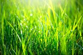 Grass texture. Fresh green spring grass with dew drops background, closeup. Sun. Soft Focus. Abstrac poster