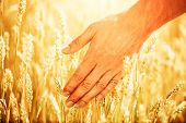 Wheat ears in mans hand. Harvest concept. Hand of farmer touching wheat corn agriculture. Ears of w poster