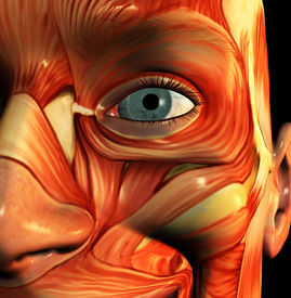 stock photo of human muscle  - this is a skinless  face - JPG
