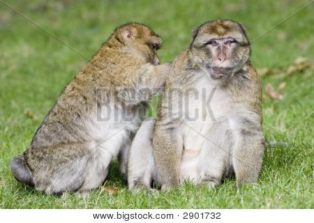 Ape Lousing Another Ape