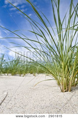 Cape Cod Beach Grass