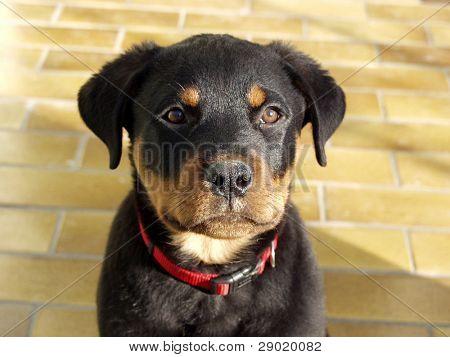 A Cute Rottweiler Puppy