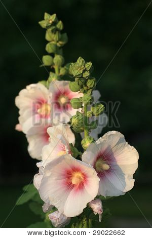 Wild marshmallow flower