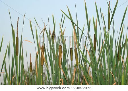 Bulrush against a blue sky