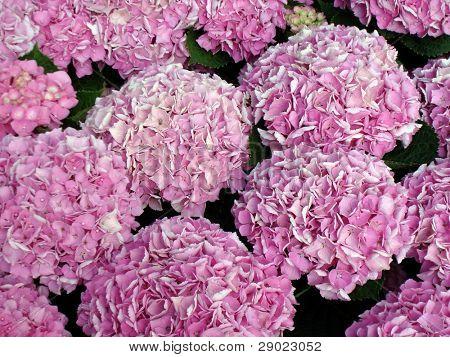 Pink flower of hortensia