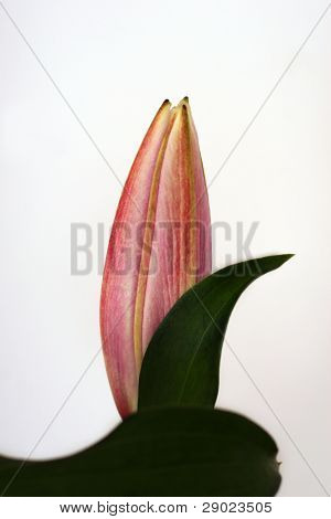 Pink lily bud