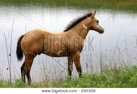 Colt At Pond