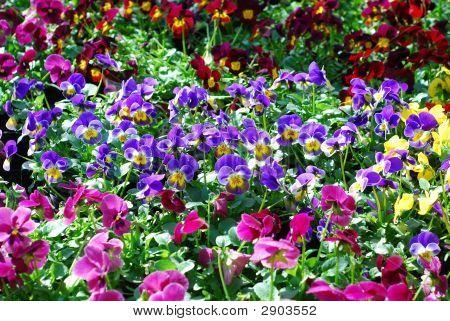 Field Of Viola Tricolor