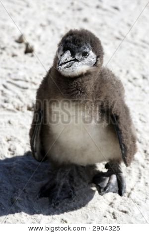 African Penguin Spheniscus Demersus