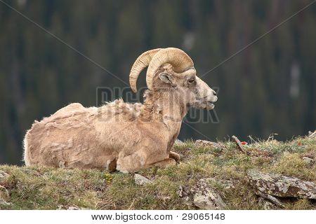 Bighorn Ram Resting