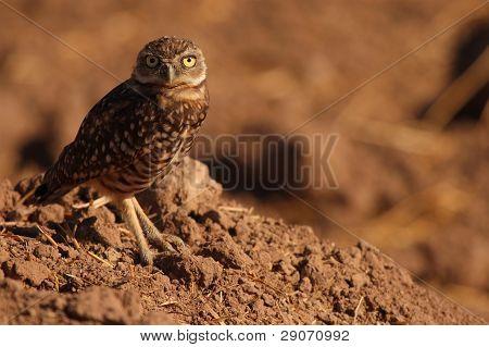 Burrowing Owl At Den