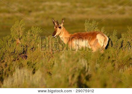 Pronghorn Antelope Amoung Sagebrush
