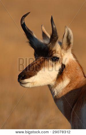 Portait of Pronghorn Antelope Buck