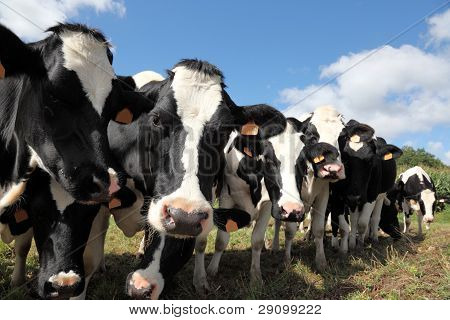 Row Of Holstein Dairy Cows