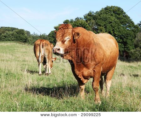 Large Limousin Beef Bull