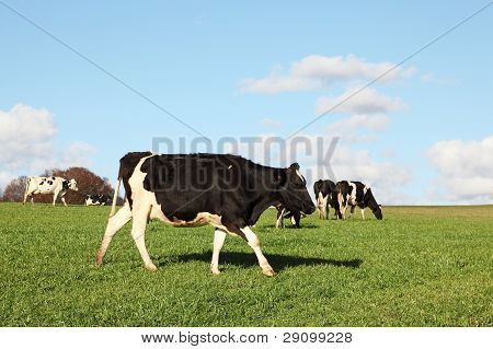 Holstein Dairy Cow Walking