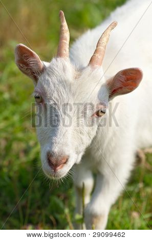 Goat on a meadow close