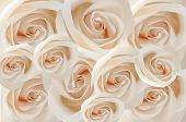 picture of white roses  - The background from light gentle white roses - JPG