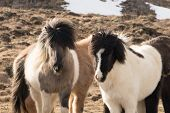 Horses In The Mountains In Iceland.icelandic Horses. The Icelandic Horse Is A Breed Of Horse Develop poster