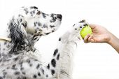 foto of english setter  - An English Setter and his owner play with a tennis ball - JPG