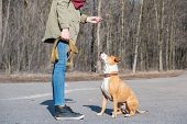 Training A Grown-up Dog To Do sit Command. Person Schooling A Staffordshire Terrier In A Park, Obe poster