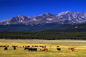 stock photo of colorado high country  - Cattle graze as the high peaks of the Colorado Rockies show in the background photographed in the Arkansas River Valley - JPG