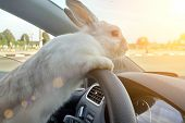 Rabbit Drives A Car, He Is At The Driver Seat Behind The Steering Wheel. Hare Driver.. White Easter  poster