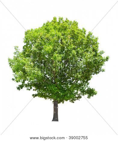 green summer oak tree isolated on white background