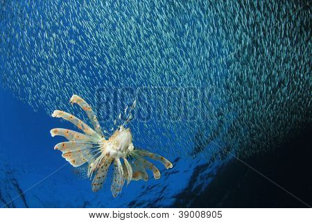 Lionfish hunting shoal of silversides fish fry