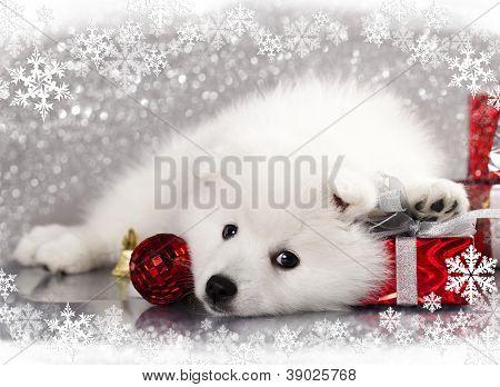 Blanco japonés spitz y regalo de año nuevo