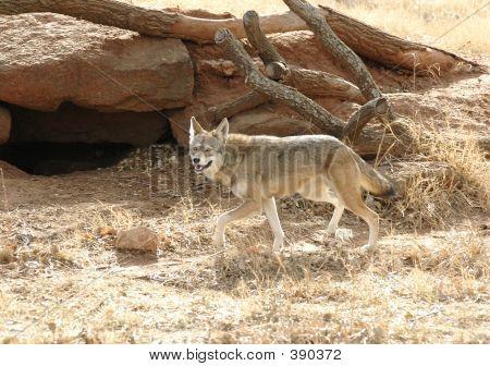 Red Wolf Running
