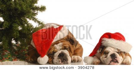 Two Bulldog Under Christmas Tree