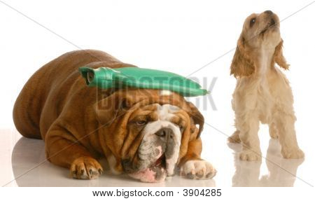 Bulldog Hot Water Bottle Cocker Howling