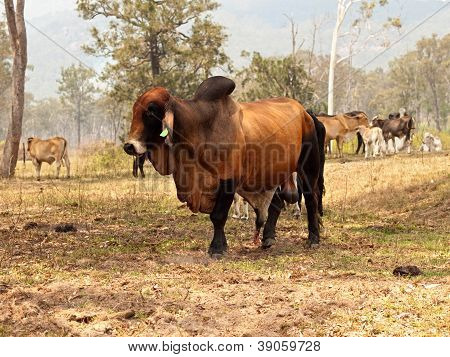 Red brahman bull with cows steers calfs on farm