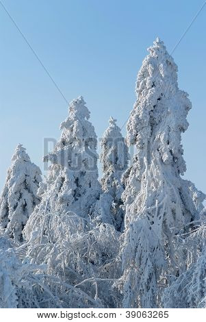 The Old Fir Trees Covered With A Thick Layer Of Rime In Ojcowski National Park