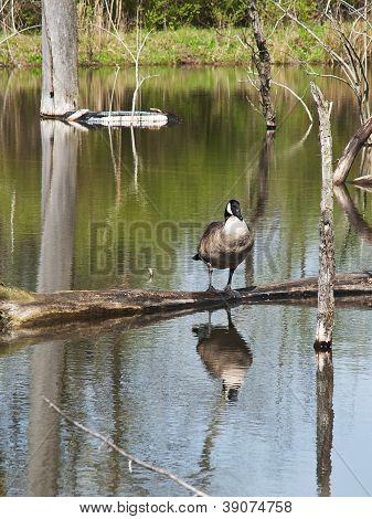 Plump Goose