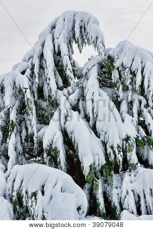 Tree Covered In Snow During Noreaster