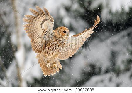 Landing Tawny Owl