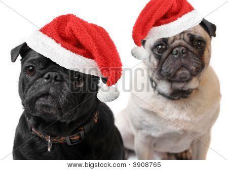 Christmas Pugs