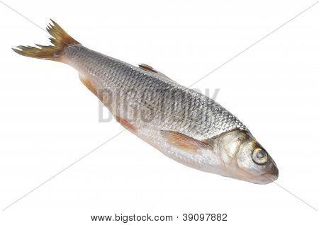 Dace Fish Isolated On White Background