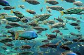 stock photo of catching fish  - Bass and tilapia swimming underwater in large numbers - JPG