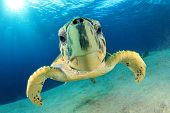 stock photo of hawksbill turtle  - Turtle  - JPG