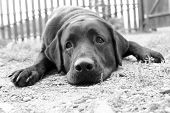 Cute Sad Dog In B&W